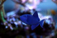 Niger Triggerfish - Odonus Niger Arkivfoto