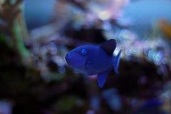 Niger Triggerfish - Odonus Niger Royaltyfri Foto