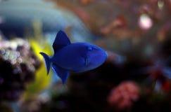 Niger Triggerfish - Odonus Niger Arkivfoton