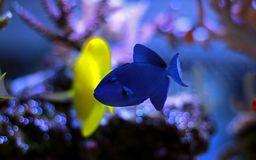 Niger Triggerfish - Odonus niger royalty free stock image
