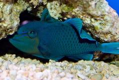 Niger Triggerfish Stock Photo
