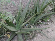 Nigerian Aloe Vera Stock Photography