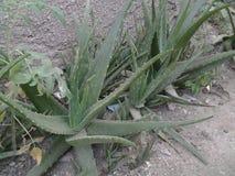 Nigerian Aloe Vera. Medicinal nigerian aloe vera in zaria stock photography