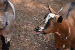 Nigerian dwarf goat bleating. On the farm on a beautiful day stock photo