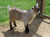 Nigerian Dwarf goat doeling. 6 weeks old Nigerian Dwarf doeling Royalty Free Stock Photo