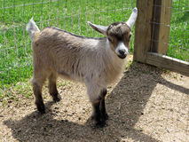 Nigerian Dwarf goat kid (female). 6 weeks old Nigerian Dwarf doeling Stock Photos