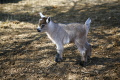 Nigerian Dwarf goat kid. Few days old Nigerian Dwarf baby goat Royalty Free Stock Photos
