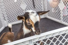 Nigerian Dwarf Goat. In a plastic crate keep at a goat milk soap stand royalty free stock images