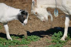 Nigerian Dwarf and Saanen Goats. Close on a Nigerian Dwarf Goat and a white Swiss Saanen goat about to heads during a round of playful activity royalty free stock photo