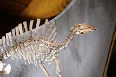 Nigeriensis Ouranosaurus Στοκ φωτογραφία με δικαίωμα ελεύθερης χρήσης