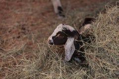 Nigerische zwergartige Ziege des Schwarzweiss-Babys Stockfotos