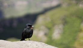 Nigerrimus van Knipolegus (Fluweelachtige zwart-Tyran) Royalty-vrije Stock Foto's
