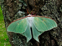 Nighr Butterfly (Actias artemis) 4 Royalty Free Stock Photography
