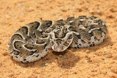 Night Adder - Venomous Snake Background - Small packages, Deadly dose Royalty Free Stock Photography