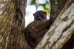 Night Ankarana Sportive Lemur, Madagascar royalty free stock images
