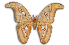 Night Atlas moth (Attacus) Royalty Free Stock Photos