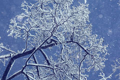 Night background with snowy branches Royalty Free Stock Image