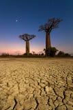 Night Baobab trees Royalty Free Stock Image