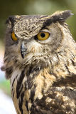 Night bird. Head of a owl, a night hunter. His eyes are impressive Royalty Free Stock Images
