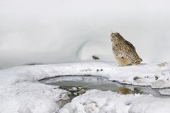Night bird. Wildlife scene, winter Hokkaido, Japan. Blakiston`s fish owl, Bubo blakistoni, largest living species of owl, fish ow Stock Photos