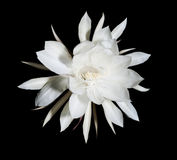 Night Blooming Cereus. Also known as Queen of the Night on black. Night Blooming Cereus. Also known as Queen of the Night. Flower on black isolated background Stock Photos