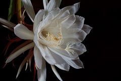 Night Blooming Cereus. A Night Blooming Cereus after midnight. It opens after dark and wilts at dawn Royalty Free Stock Image