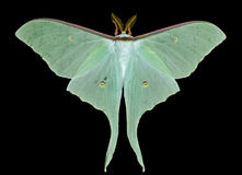 Night butterfly (Actias artemis) 17 Royalty Free Stock Images