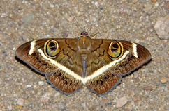 Night butterfly Royalty Free Stock Images