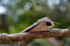 Night butterfly. On the branch of a plant Stock Photos