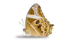 Night butterfly. Royalty Free Stock Photography