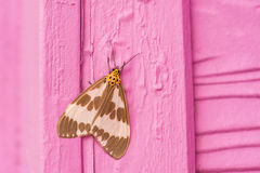 Night butterfly Royalty Free Stock Photography