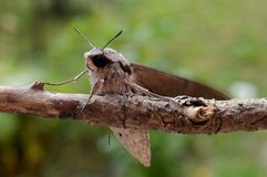 Night butterfly. On the branch of a plant Stock Images