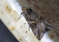 Night butterfly Scoop-gamma (Autographa gamma) Stock Photography
