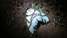 Night Butterfly Royalty Free Stock Image
