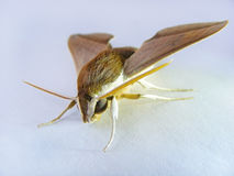 Night butterfly on white sheet Royalty Free Stock Photography