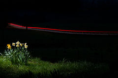 Night Daffodils. Daffodils at Night Time with Light Trails from a Car in the Background royalty free stock photography