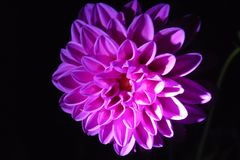 NIGHT Dahlia stock images
