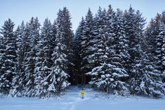 Night in a dark forest, a walk in the woods before Christmas. New year, covered in snow. Spruce trees pine trees covered with snow.  Royalty Free Stock Image