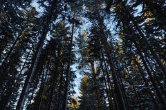 Night in a dark forest, a walk in the woods before Christmas. New year, covered in snow. Spruce trees pine trees covered with snow.  Royalty Free Stock Photos