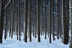 Night in a dark forest, a walk in the woods before Christmas. New year, covered in snow. Spruce trees pine trees covered with snow.  Stock Images