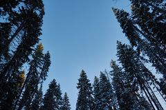 Night in a dark forest, a walk in the woods before Christmas. New year, covered in snow. Spruce trees pine trees covered with snow.  Stock Photography