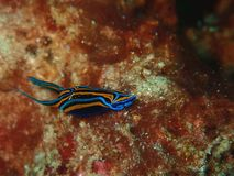 Closeup with nudibranch and the sea slug during the night dive in Sabah, Borneo. stock images