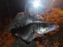 Night Fisher. Angler with Head Light in the Night, with catched PikePerch stock photos