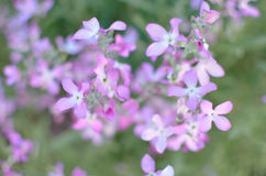 Night flowers violet spring gentle background Royalty Free Stock Image