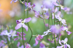 Night flowers violet spring gentle background Royalty Free Stock Photos