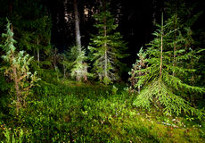 Night forest. Fir trees in pinewood at summer night royalty free stock images