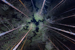 Night forest scene. Uplifted pine tree Stock Images
