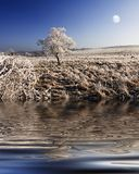 Night Frosts. A Frost coated Lone Tree with sheep grazing in sub zero temps in Northumberland, England during December Royalty Free Stock Images