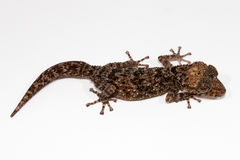 Night gecko. On white background Stock Images