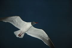 Night Gull Stock Image